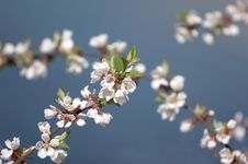 Free Blossoming Branch Royalty Free Stock Photo - 4949185