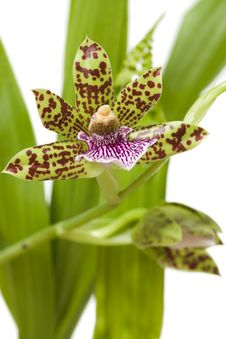 Free Orchid Royalty Free Stock Image - 4949216
