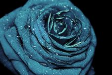 Free Blue Rose Royalty Free Stock Images - 4949919
