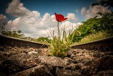 Free Poppy Stock Image - 49471281