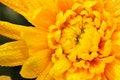 Free Orange Chrysanthemum 1 Royalty Free Stock Photography - 4953417