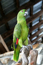 Free Green Parrot Royalty Free Stock Photos - 4956518