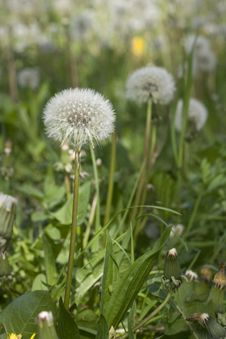 Free White Dandelion Royalty Free Stock Image - 4950116