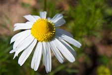 Free Camomile Flower Royalty Free Stock Images - 4950339