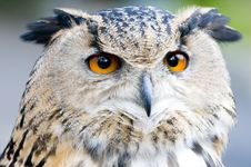 Free Eagle Owl Stock Photo - 4950430