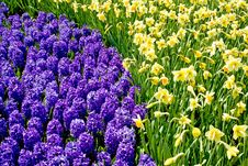 Hyacinths And Daffodils Together Stock Images