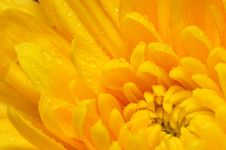 Free Orange Chrysanthemum 4 Royalty Free Stock Images - 4953309