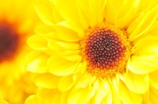 Free Yellow Chrysanthemum Series 1 Stock Image - 4953321