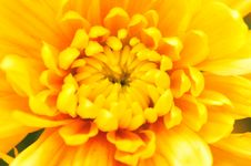 Free Chrysanthemum Series 6 Royalty Free Stock Photo - 4953375