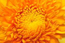 Free Golden Chrysanthemum Series 2 Royalty Free Stock Photos - 4953388