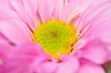 Free Pink Chrysanthemum Series 2 Stock Image - 4953391