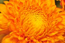 Free Golden Chrysanthemum Series 3 Royalty Free Stock Photos - 4953398