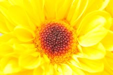 Free Yellow Chrysanthemum Series 2 Stock Photography - 4953402