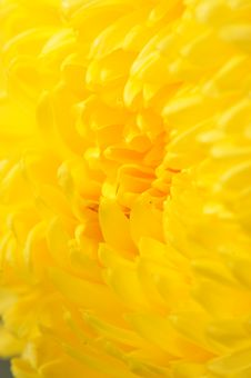 Free Chrysanthemum Series 15 Stock Photography - 4953412