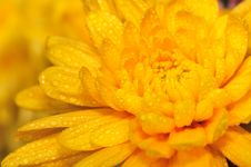 Free Orange Chrysanthemum 2 Royalty Free Stock Photos - 4953418