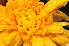 Free Orange Chrysanthemum 3 Royalty Free Stock Images - 4953429