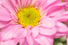 Free Pink Chrysanthemum Series 3 Stock Photography - 4953432