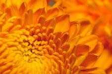 Free Golden Chrysanthemum Series 5 Stock Image - 4953481