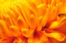 Free Golden Chrysanthemum Series 1 Stock Images - 4953484