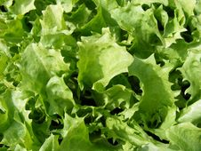 Free Endive Kentucky Lettuce Stock Photo - 4954460