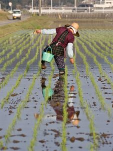 Old Farmer Reflected In A Ricefiled As The Walks Royalty Free Stock Photo