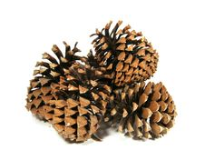 Free Some Big Cedar Cones Stock Photos - 4957173