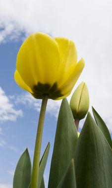 Free Tulip Stock Photos - 4957353