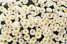 Free Chrysanthemum Stock Photography - 49555902