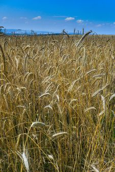 Free Golden Grain Land Royalty Free Stock Image - 49579216