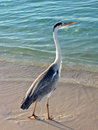 Free Bird : A Big Grey Heron Royalty Free Stock Photos - 4965778