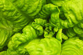 Free Green Lettuce Royalty Free Stock Photography - 4966447