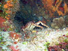 Free Big Crab Royalty Free Stock Images - 4960549