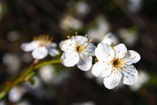 Free Spring Blossom Stock Photo - 4960630
