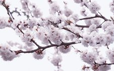 Free Blossom Cherrie Stock Photography - 4960672