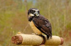 Free Spectacled Owl Stock Photo - 4961120