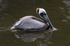 Free Pelican In Lake Royalty Free Stock Photos - 4961658