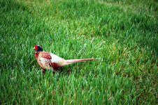 Free Pheasant Stock Photo - 4961790