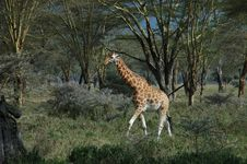 Free Giraffe In Transit In The Wild Stock Images - 4961884
