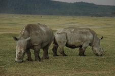 Rhinoceroses Eating Grass In A Field Stock Images