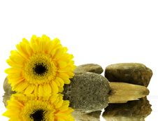 Free Wet Yellow Gerber Daisy On The Stones Royalty Free Stock Photos - 4962218