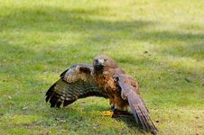 Free Red-tailed Hawk Royalty Free Stock Photography - 4963107