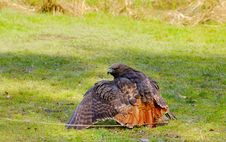 Free Red-tailed Hawk Stock Images - 4963134
