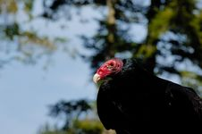 Free Turkey Vulture Royalty Free Stock Photos - 4963138