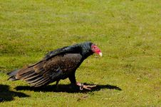 Free Turkey Vulture Royalty Free Stock Images - 4963199