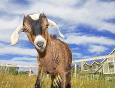 Cute Baby Goat Royalty Free Stock Photos