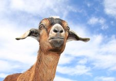 Free Cute Baby Goat Stock Photography - 4963232
