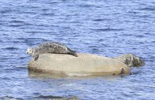 Free Gray Seal Basking On Rock Stock Photo - 4963540