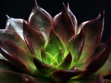 Free Rosette Succulent Stock Images - 4963594