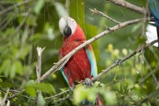 Free Beautiful Parrot Royalty Free Stock Images - 4964329