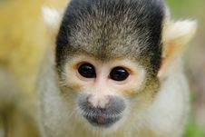 Free Cute Squirrel Monkey Stock Photos - 4965293